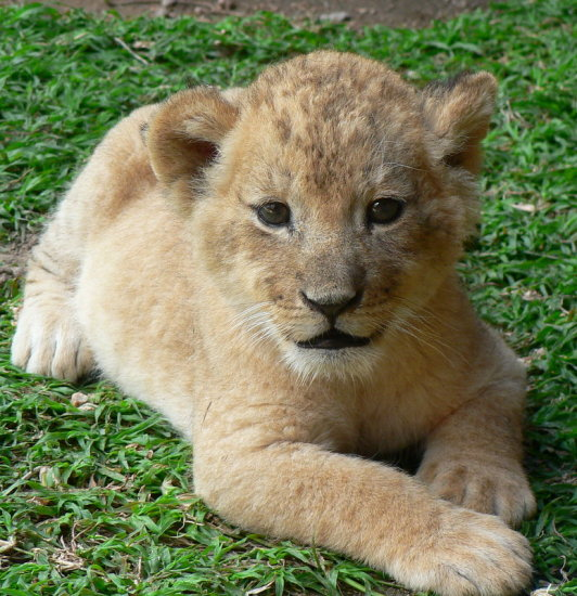 Lion Cub AntelopePark Zimbabwe Wildlife Animals
