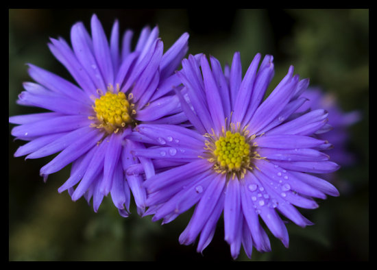 More autumnflowers from the garden, Aster amellus.