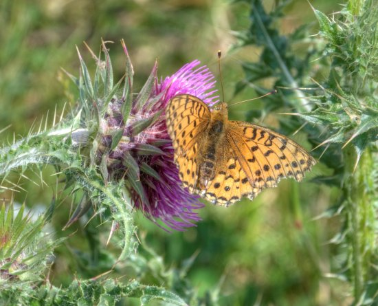Peak District Derbyshire Butterfly