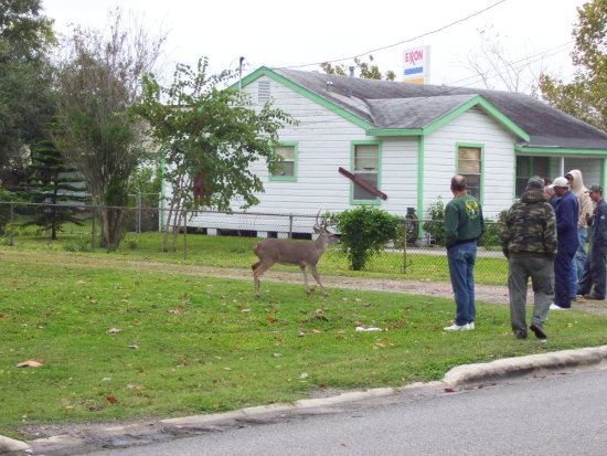 local town Buck down the road ready to charge