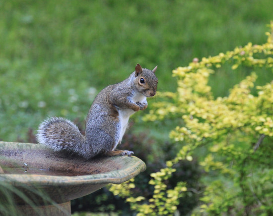 squirrel garden visitor