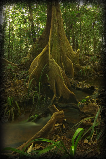 tree roots guyane stream
