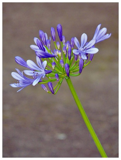 Agapanthus ( from previous pic) in late afternoon light ..