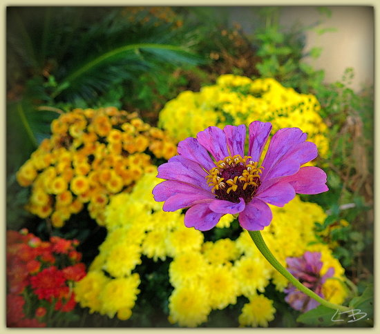 I've been busy this week re-working a flower bed....pulling out the weeds and planting Chrysanthe...