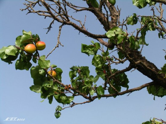 iran nature tree apricot