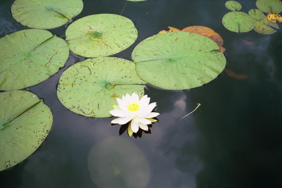 waterlily lilypad