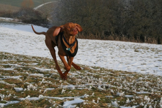 Animals Dogs Hungarian Vizsla Hunting Dog