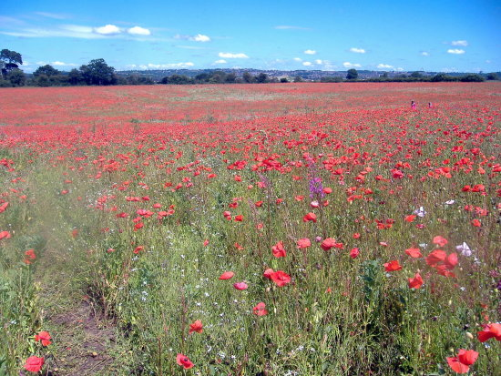 Poppy Fields 2011