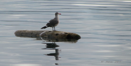 birds seagull water reflection