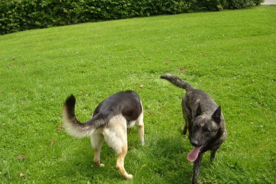 Dutch shepperd and German shepperd his mate