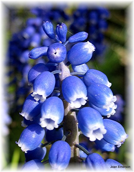 Blue profusion