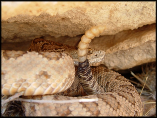 Large Adult male Grand Canyon rattlesnake at his winter hibernacula. This photo does the snake no...