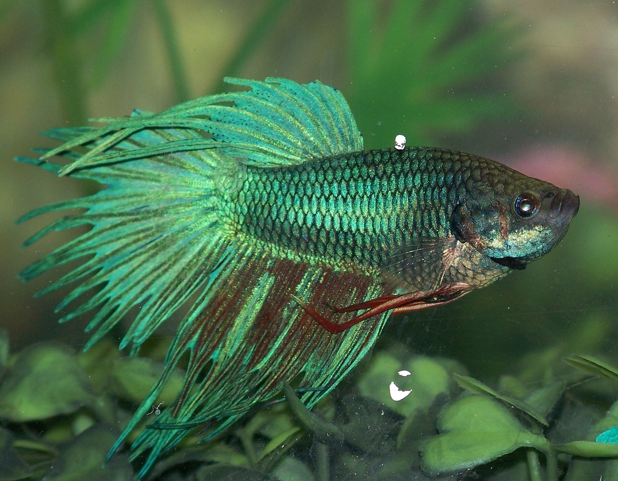 Crowntail betta fish for Crowntail betta fish