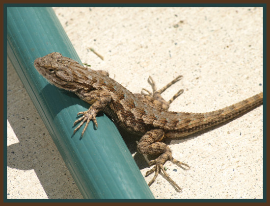 one of our yard lizards posing while trying to climb over
