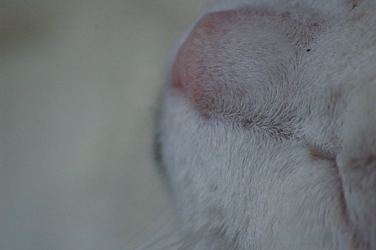 cat cats animal nose white