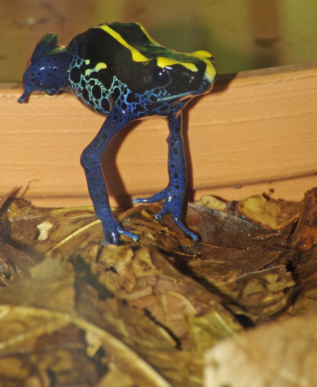 poison arrow frog amphibian animal nature wildlife