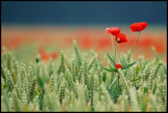 poppy poppies somerset somersetdreams