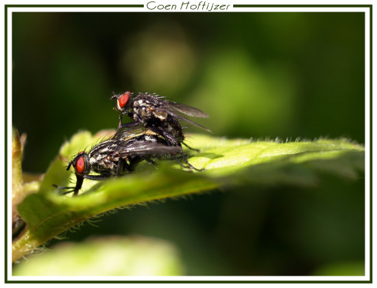 fly flies nature macro spring netherlands CH1988