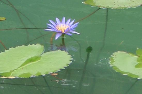 waterlily flower pinoykodakeros mavik