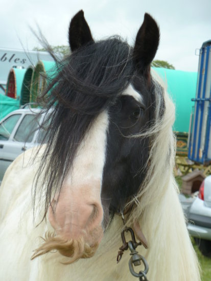 gypsy horse black and white piebald moustache mane feather stallion