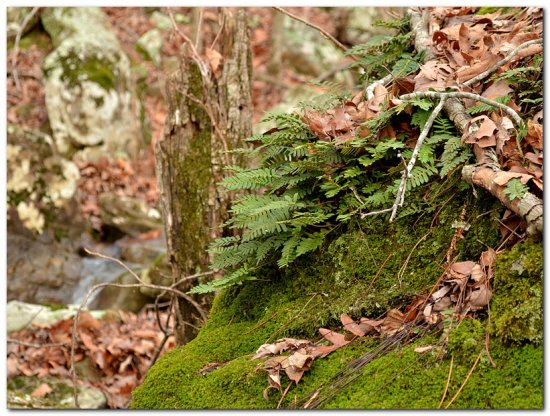 ferns moss woods ozarks