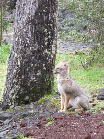 chile puertmontt fox