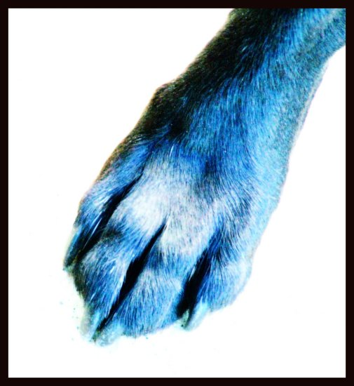 paw dog blue