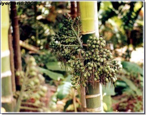 Bettle Nuts Tree