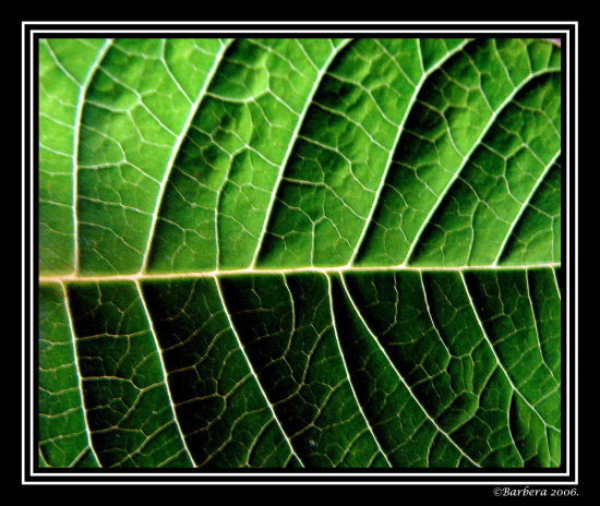 nature leaf green texture chile