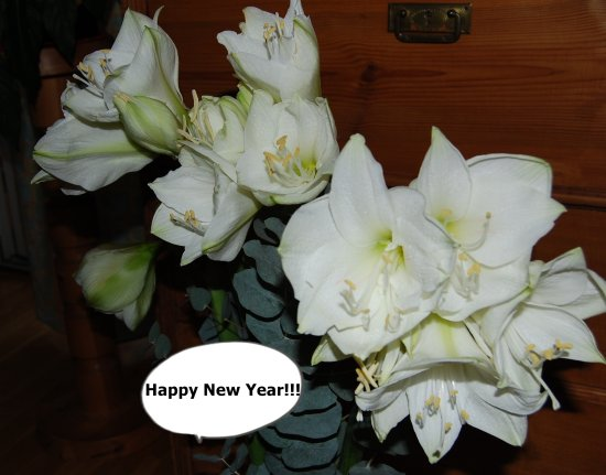 Amaryllis New Year