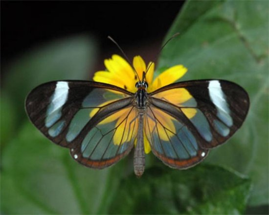Transparent butterfly5