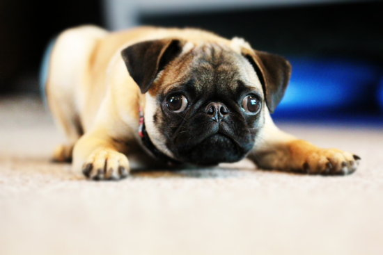 Pug Puppy Dog Dogs Puppies