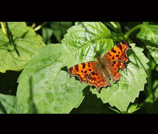 comma butterfly August 2008