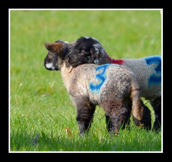 lamb lambs sheep cute animals shoulder somerset somersetdreams