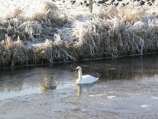 netherlands eemnes water swan winter nethx eemnx waten swanx