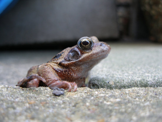 Frog in my friend's back garden, taken last summer. Resembles a character from 'Only Fools and Ho...