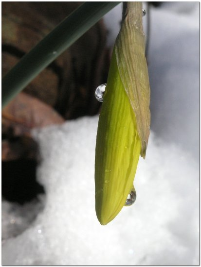 reflection thursday snow daffodil droplet