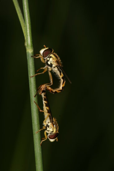 mating hoverfly hoverflies insects macro