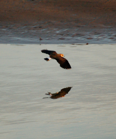 lapwing flight river taw sunrise reflectionthursday