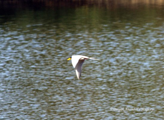 tern flight dandeli karnataka india bird