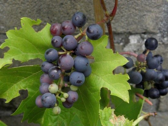 Series Garden Grapes Fruits