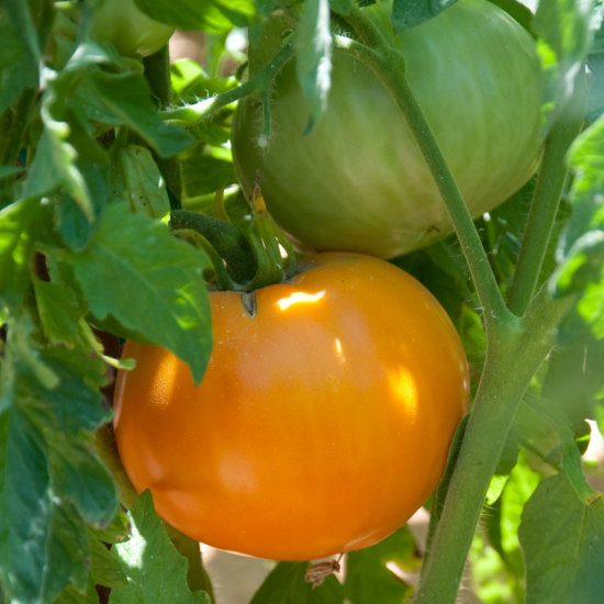 Heirloom tomato Persimmon