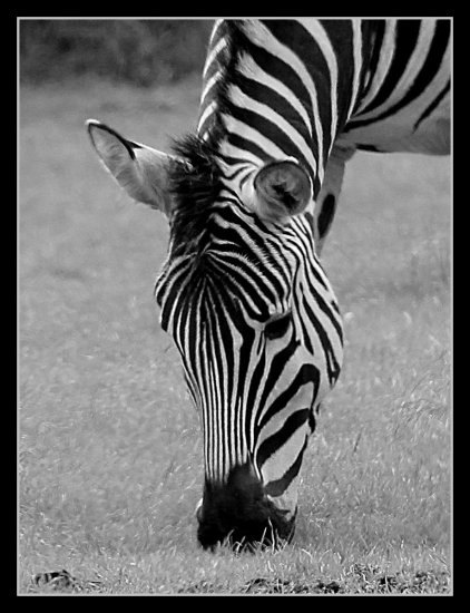Zebra taken on our trip to the safari park today