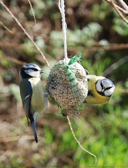 Bluetits birds wildbirds feeding bird bluetit nature feathers