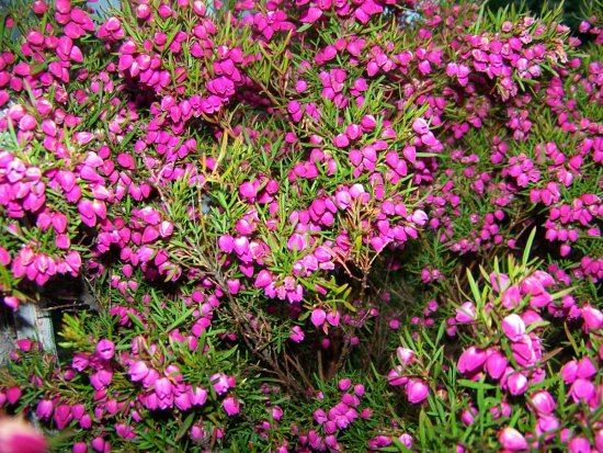 Boronia Pink Old Scented