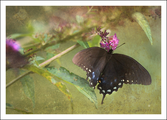 photoshop butterfly yard garden insect