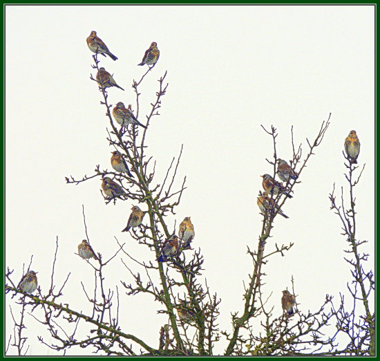 fieldfares birds