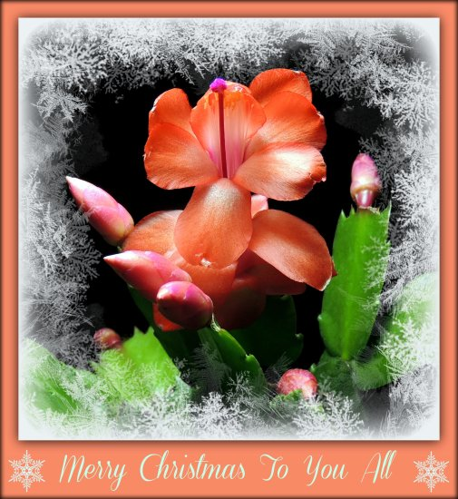 seasongreetingsfriday seasonsgreetingsfriday christmascactus
