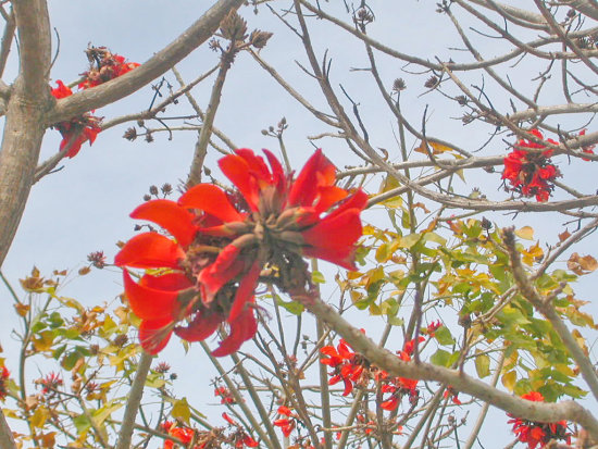 Sango Sdoldtownfph Oldtown Red Flowers Tree Redfph