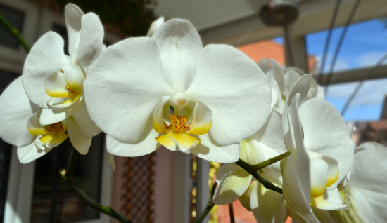 One of my orchids is looking really spectacular right now